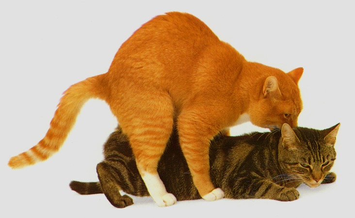 cat mating 7.jpg